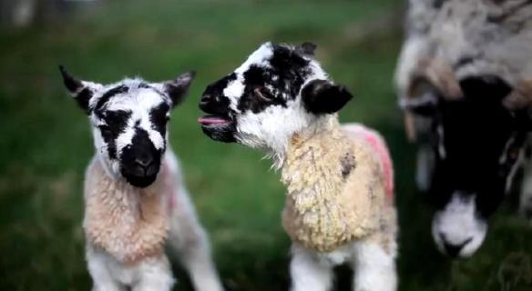 North Yorkshire Moors sheep